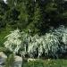 белые садовые цветы Спирея (Таволга) весеннецветущая, кустарники и деревья, фото...